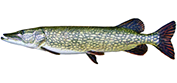 northern-pike-600